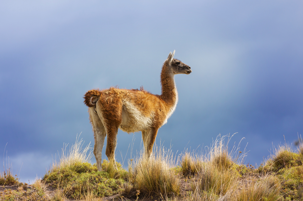 Scientists find out that two Llama nanobodies can neutralize coronavirus